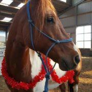 Tommy, american paint horse, paard, dikke koker