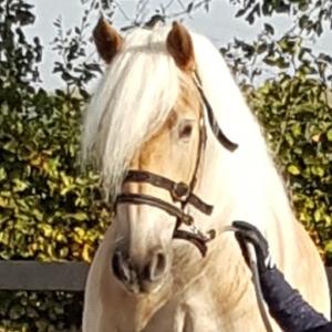 mijn paard loopt mij voorbij, oog voor het paard, halster, connectie, haflinger